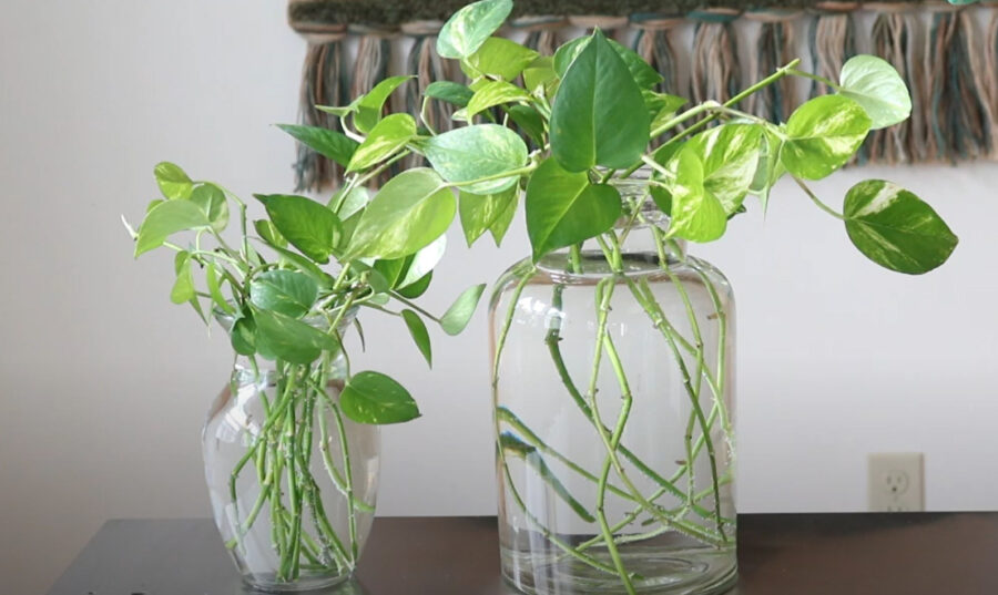 Can A Pothos Plant Be Fully Submerged In Water